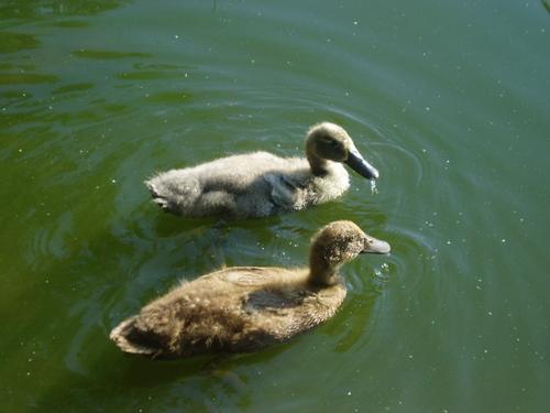 two ducklings paddling away